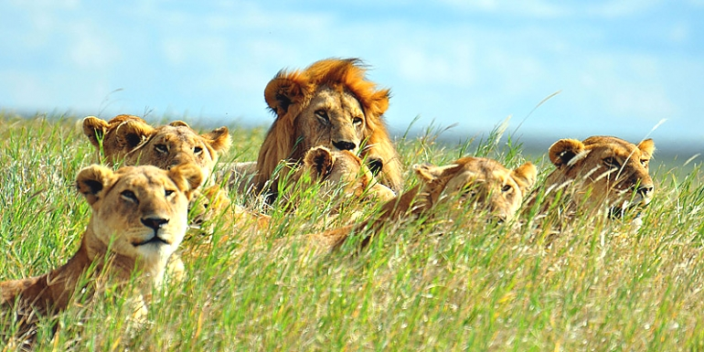 Lions in the Serengeti